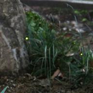 神戸・三宮で楽しむ光の神秘 生田神社「ホタル観賞の夕べ」