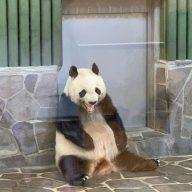 神戸市立王子動物園のジャイアントパンダ「旦旦(タンタン)」