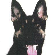 兵庫県警の警察犬シェパード「クレバ号」(オス・2歳)