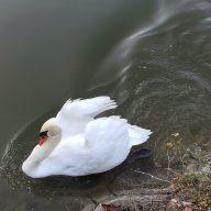 白鳥は人見知りなしで近づいてきます。かわいいですよ